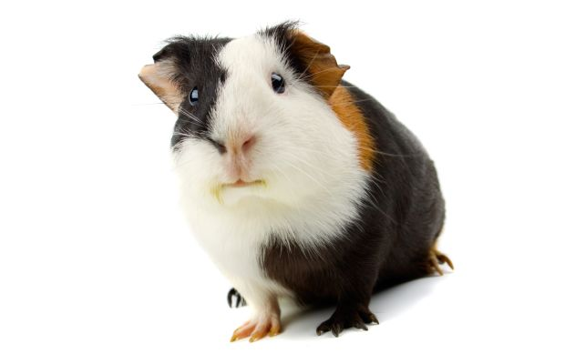 This guy is a professional model and has never been used for animal testing. Photo: iStock