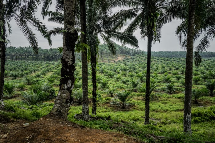 A palm oil plantation and factory encroaches on a wildlife reserve in Malaysia, inhabited by both endangered animals and around 1,200 Indigenous peoples who live in riverbank communities.