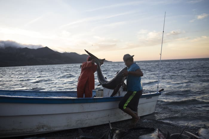 Fishermen remove caught sharks from a boat in the Mexican state of Baja California Sur.
