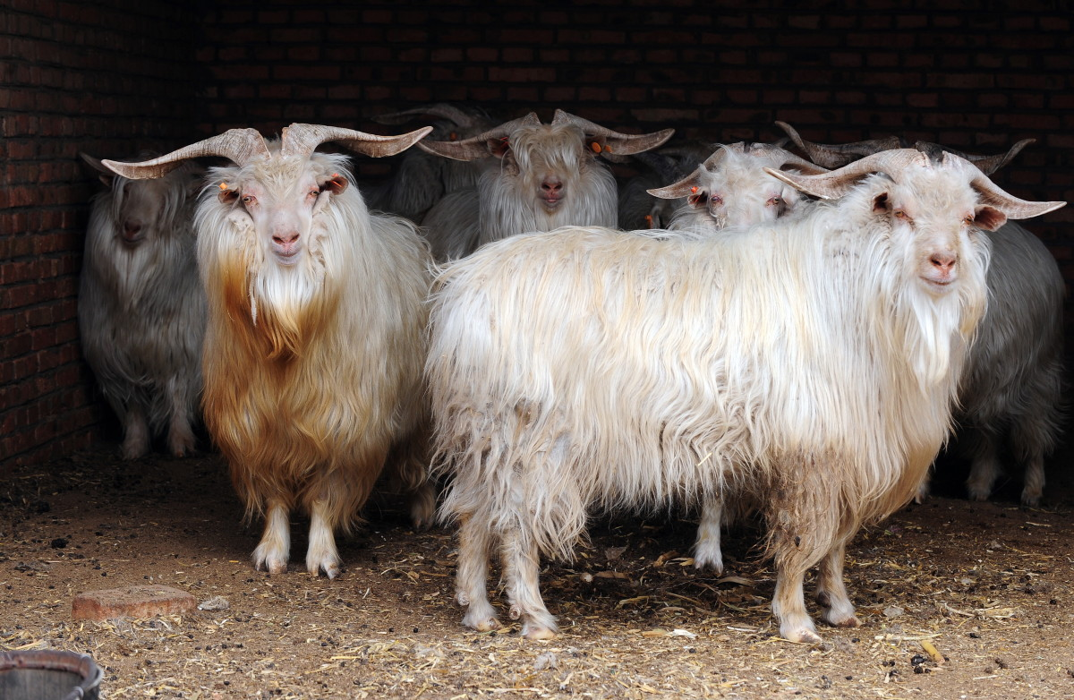 Cashmere goats at a farm in Ordos in Inner Mongolia. Photo: Frederic J. Brown/AFP/Getty Images