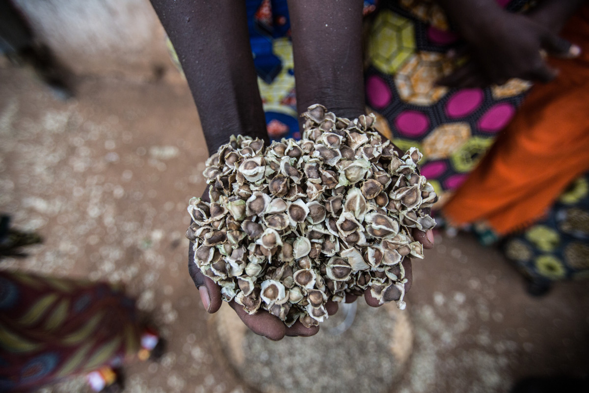 Moringa seeds in the hands of a farmer. Photo: The Body Shop
