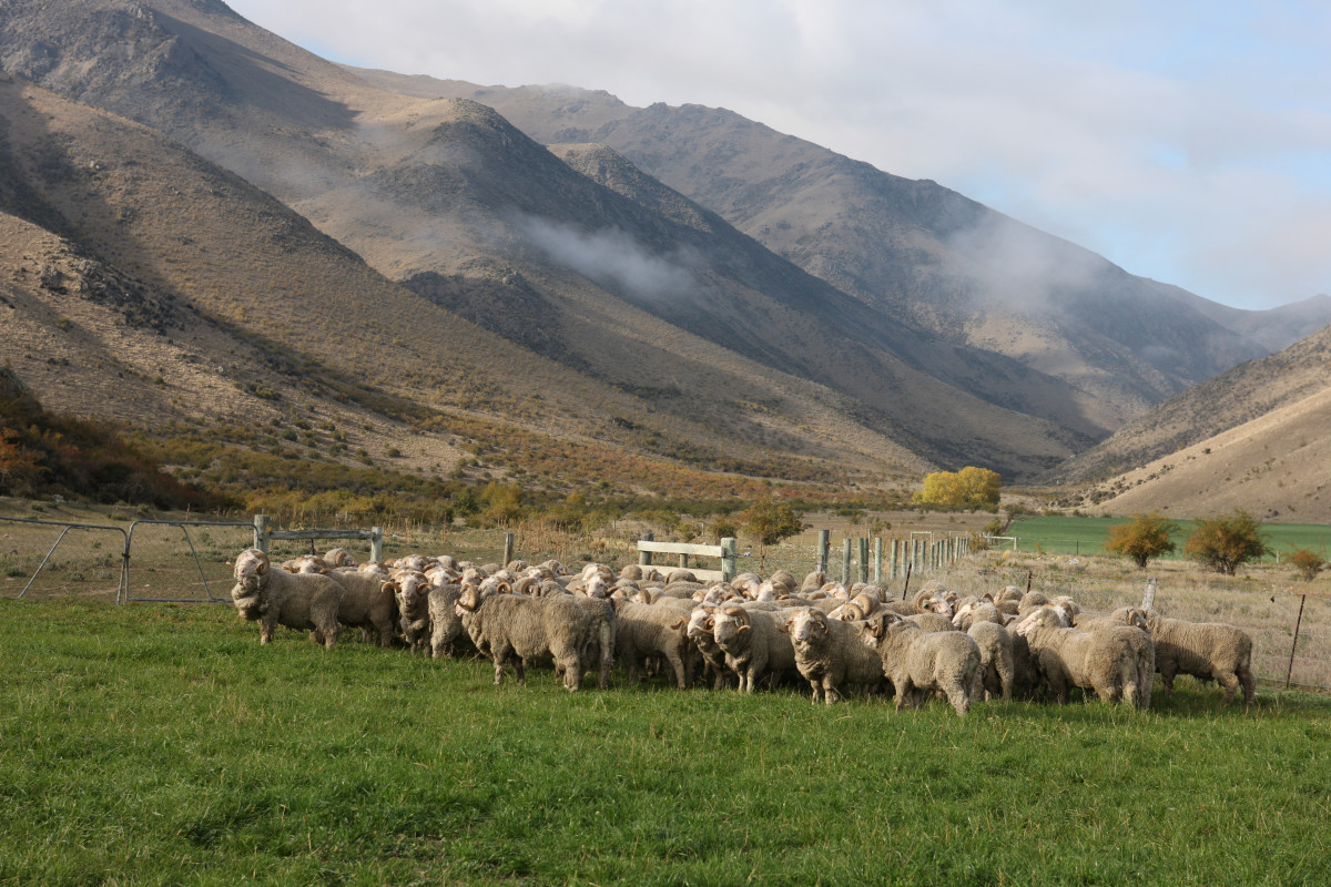 Sheep on a farm that Sheep Inc. sources from. Photo: Courtesy of Sheep Inc.