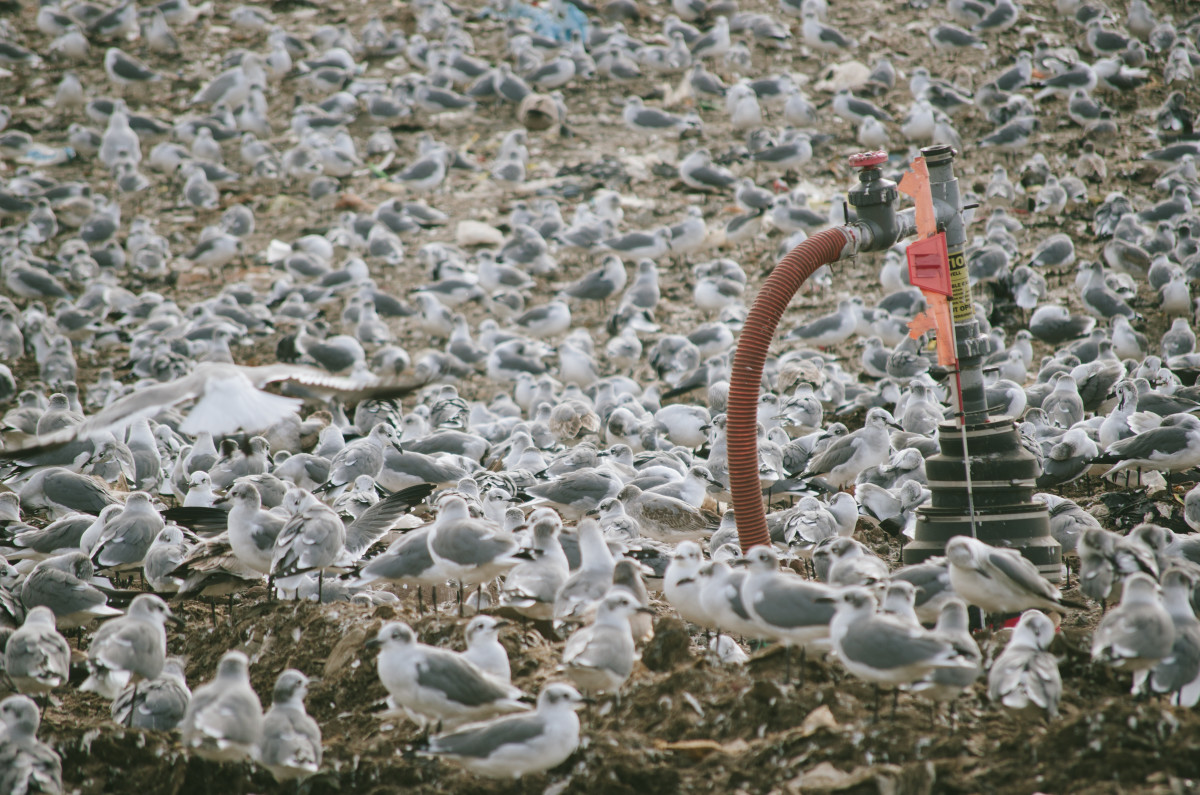 Over a dozen species of gulls come to feast on the top of the open landfill sites at Fairless. Photo: Whitney Bauck/Fashionista