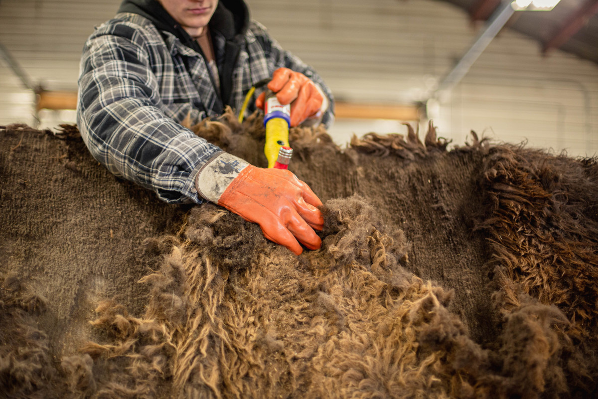 Separating bison wool from a bison hide. Photo: Courtesy United by Blue