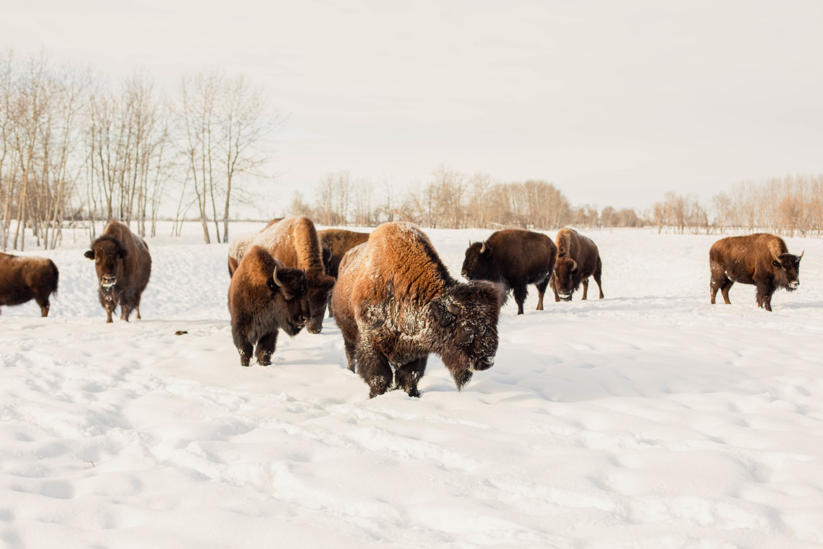 Bison on a ranch. Photo: Courtesy of United by Blue