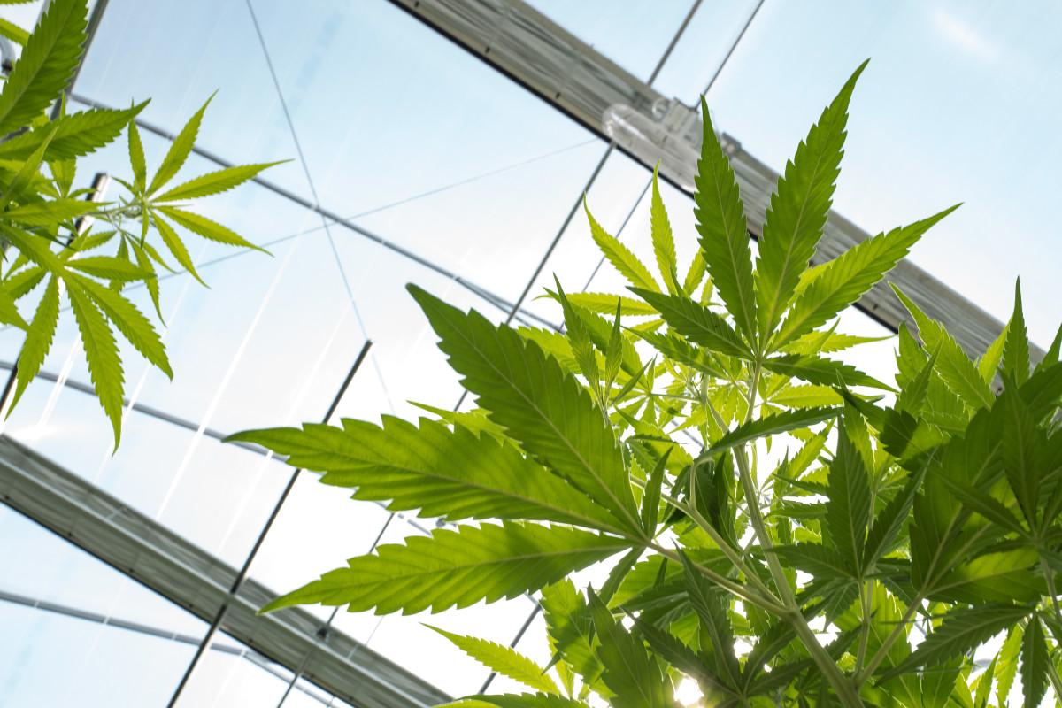 cannabinoids-marijuana
