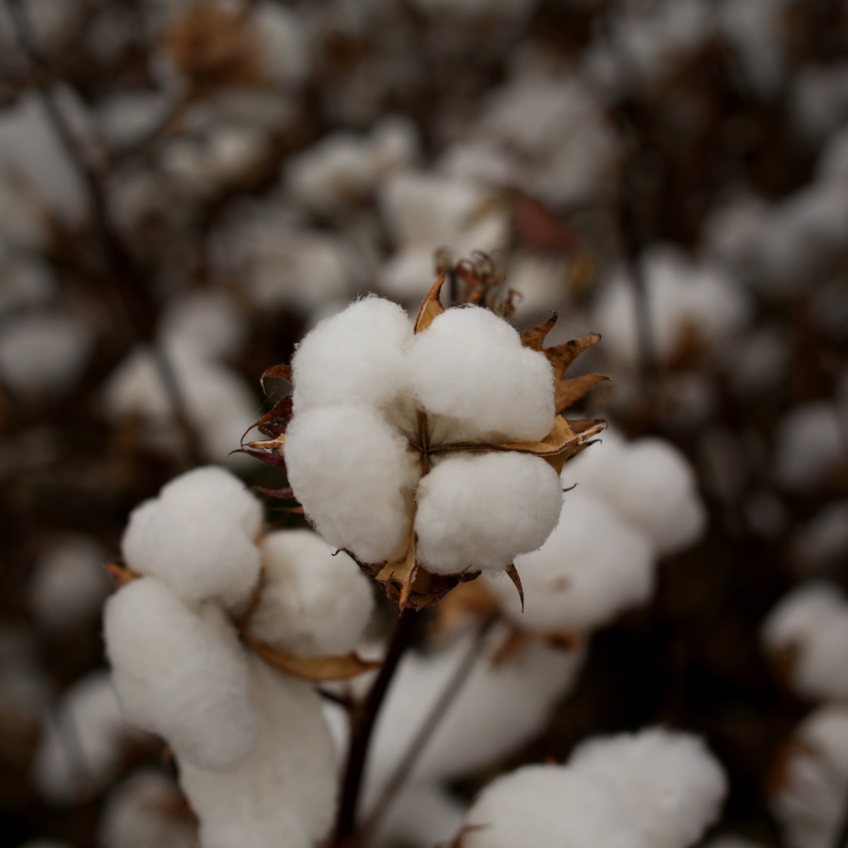 traceable cotton fibretrace