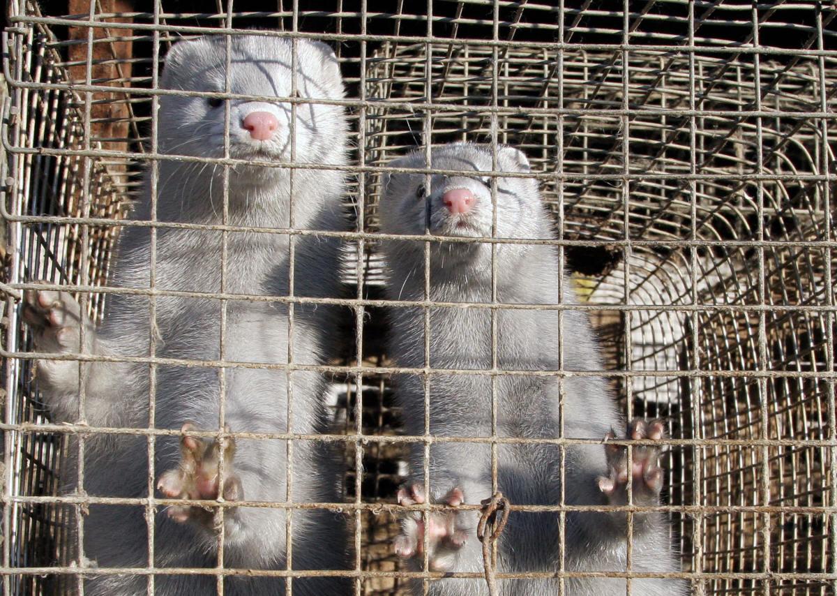 mink covid-19 coronavirus fur farm